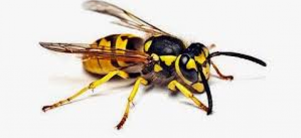 Allergia veleno imenotteri